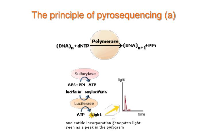 The principle of pyrosequencing (a)