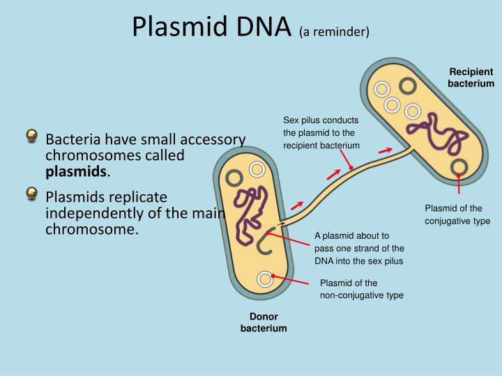 Sex pilus conducts the plasmid to the recipient bacterium