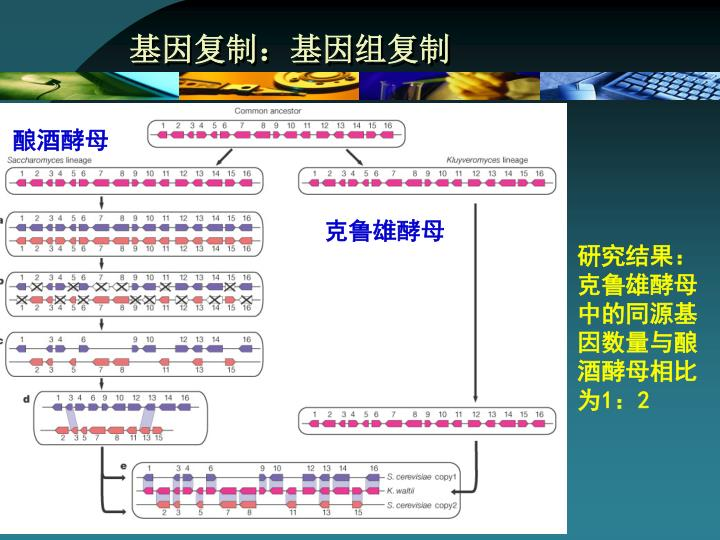 基因复制:基因组复制
