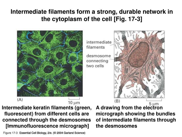 Intermediate filaments form a strong, durable network in