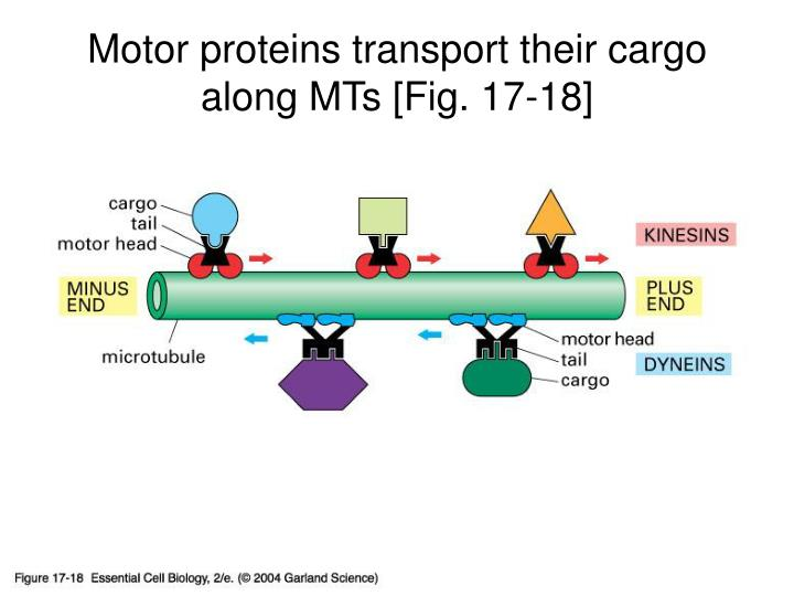 Motor proteins transport their cargo