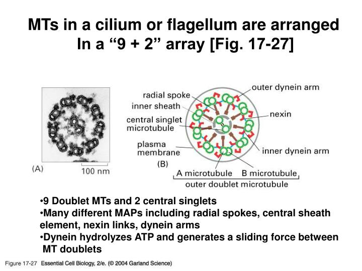 MTs in a cilium or flagellum are arranged