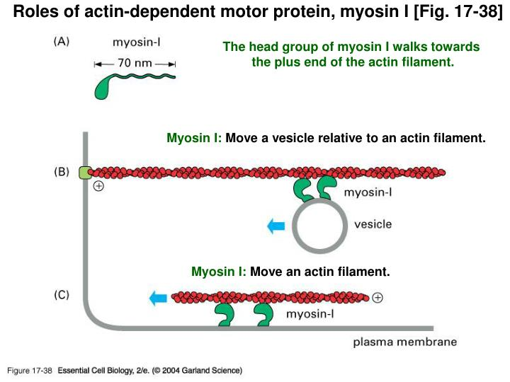 Roles of actin-dependent motor protein, myosin I [Fig. 17-38]