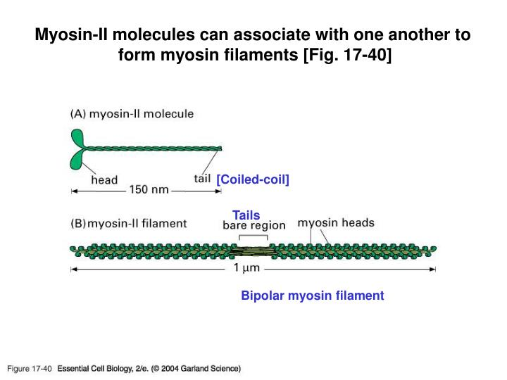 Myosin-II molecules can associate with one another to