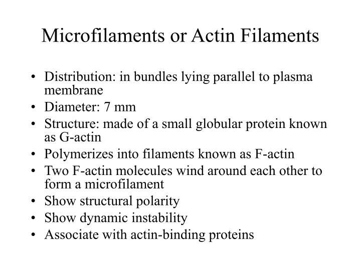 Microfilaments or Actin Filaments