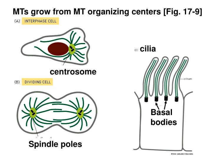 MTs grow from MT organizing centers [Fig. 17-9]