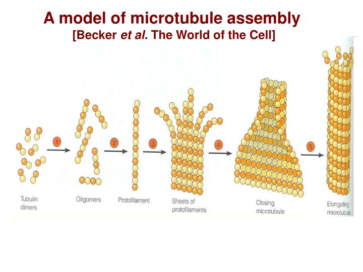 A model of microtubule assembly