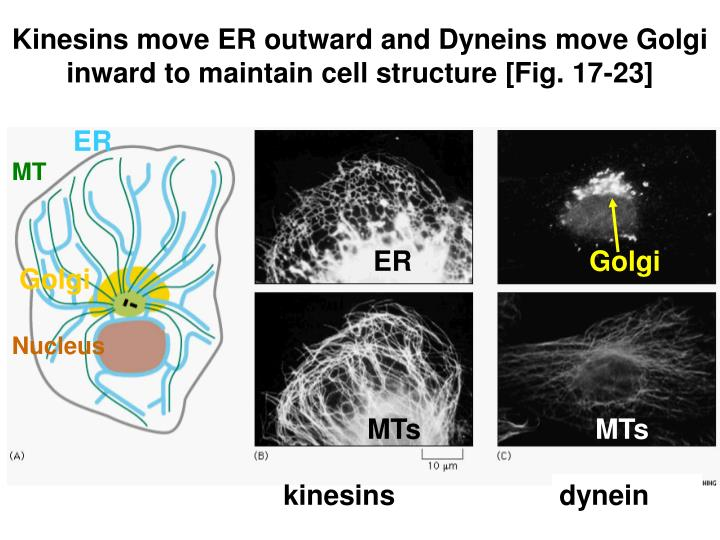 Kinesins move ER outward and Dyneins move Golgi inward to maintain cell structure [Fig. 17-23]