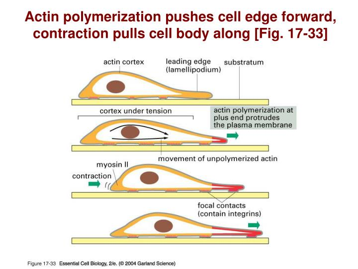 Actin polymerization pushes cell edge forward, contraction pulls cell body along [Fig. 17-33]