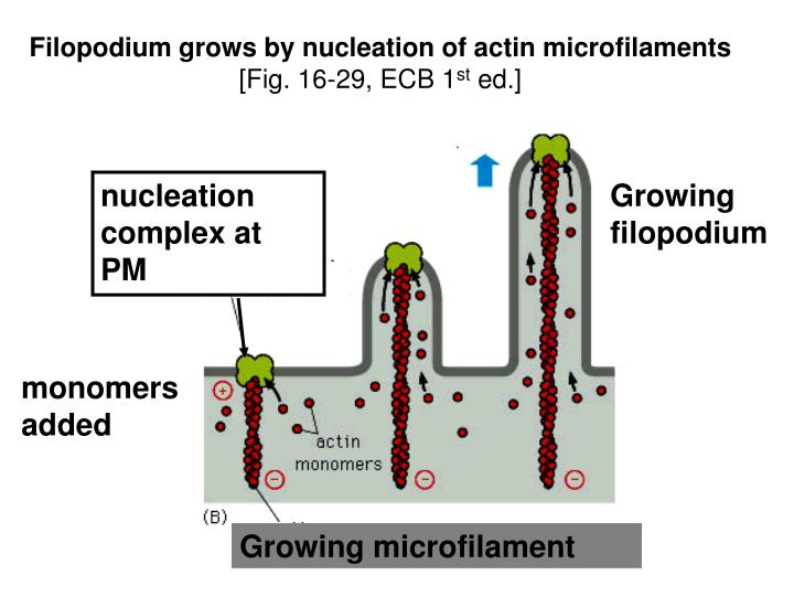 Filopodium grows by nucleation of actin microfilaments
