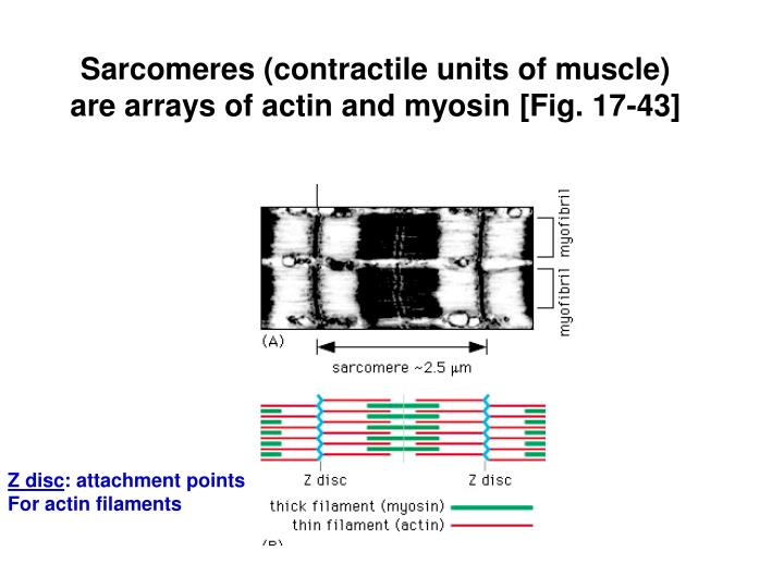 Sarcomeres (contractile units of muscle) are arrays of actin and myosin [Fig. 17-43]