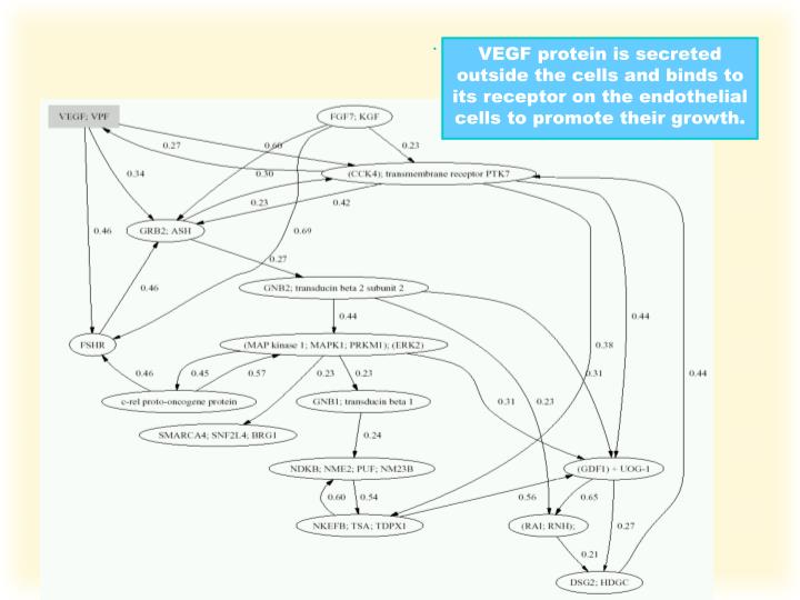 VEGF protein is secreted outside the cells and binds to its receptor on the endothelial cells to promote their growth.