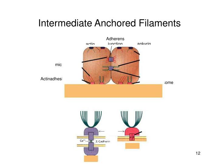Intermediate Anchored Filaments