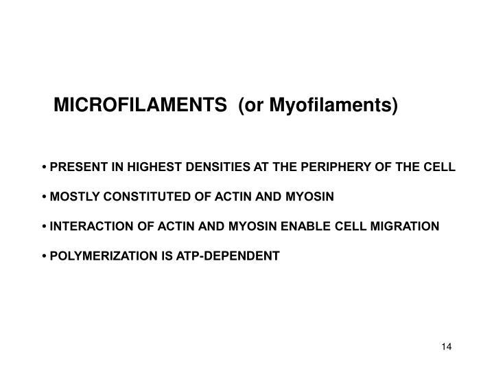 MICROFILAMENTS  (or Myofilaments)