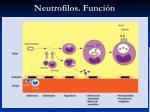 neutrofilos funci n1