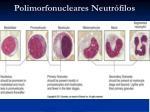 polimorfonucleares neutr filos2