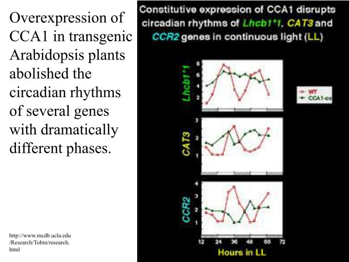 Overexpression of CCA1 in transgenic Arabidopsis plants abolished the circadian rhythms of several genes with dramatically different phases.