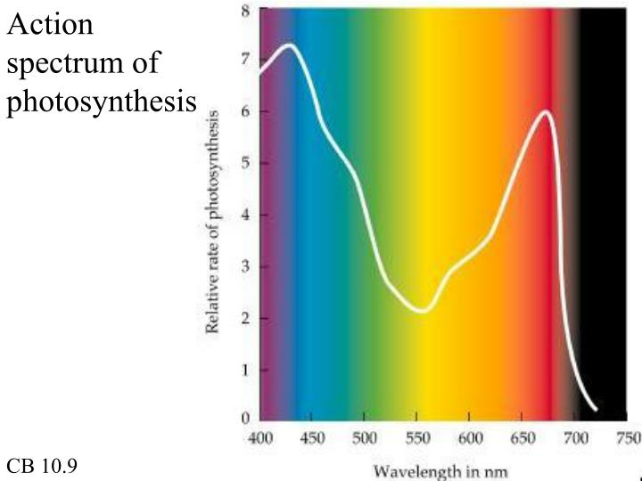 Action spectrum of photosynthesis