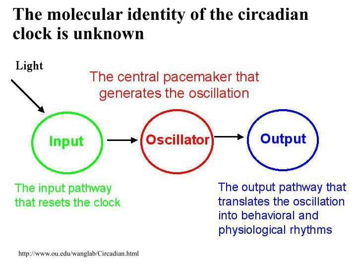 The molecular identity of the circadian clock is unknown
