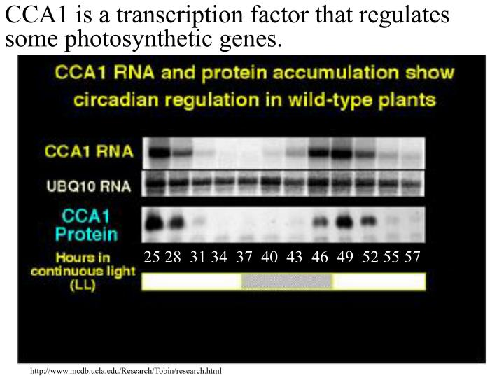 CCA1 is a transcription factor that regulates some photosynthetic genes.