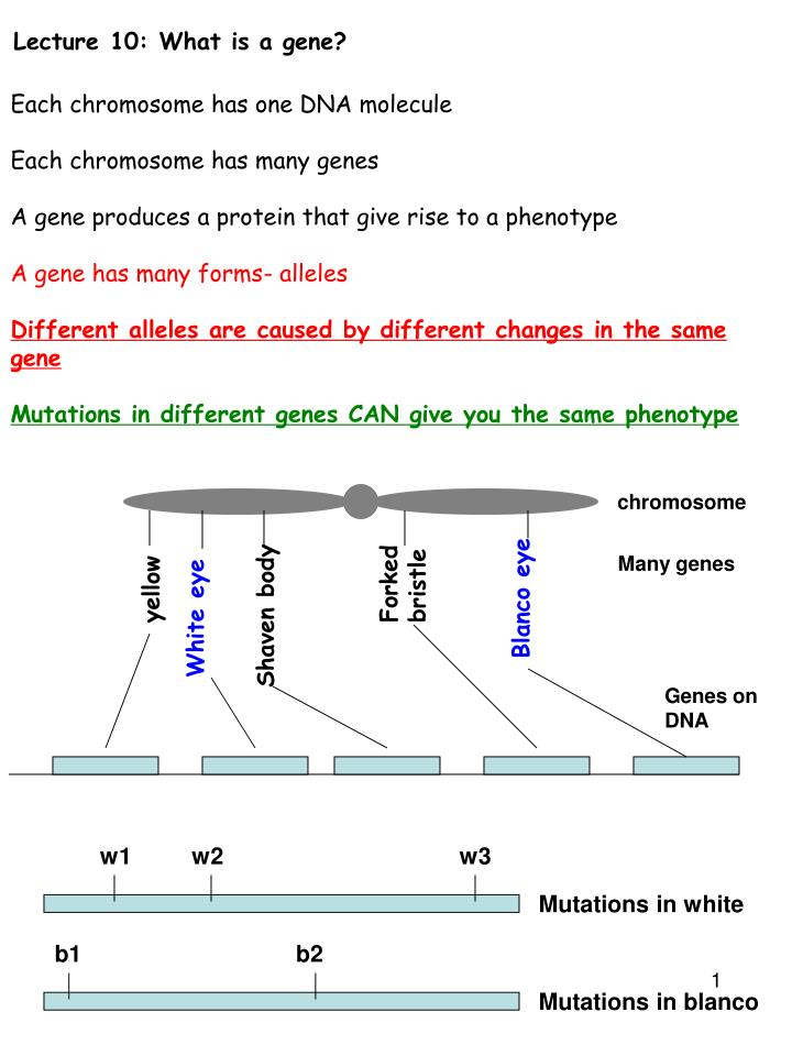 Lecture 10 what is a gene