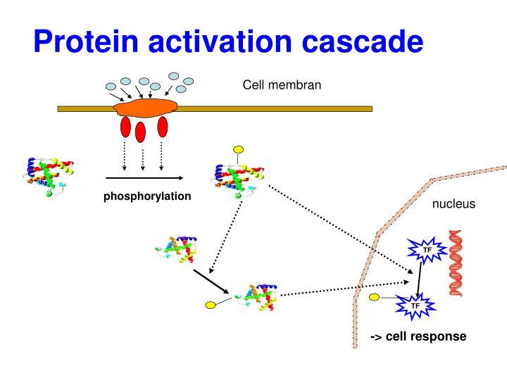 Protein activation cascade