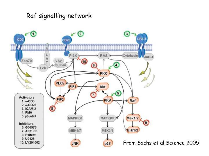 Raf signalling network