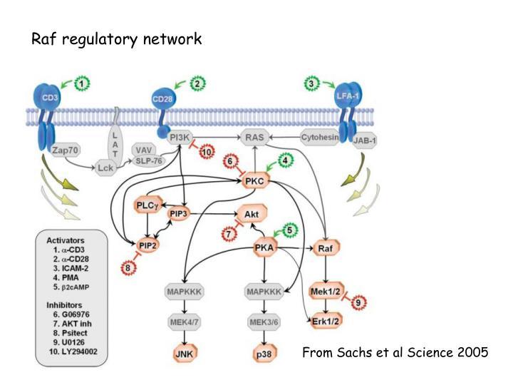 Raf regulatory network