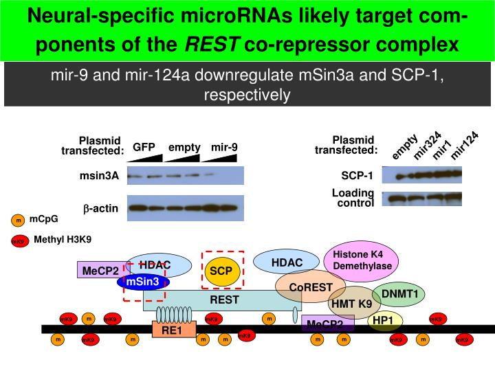 Neural-specific microRNAs likely target com-ponents of the
