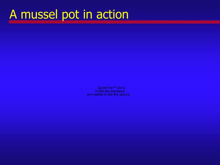 A mussel pot in action