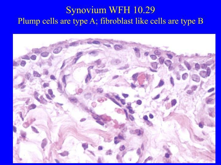 Synovium WFH 10.29