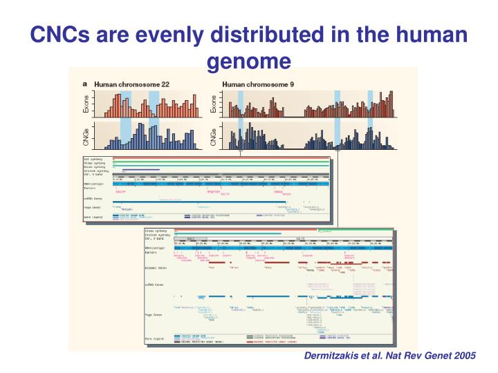 CNCs are evenly distributed in the human genome