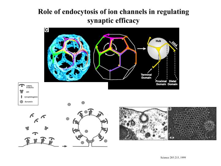 Role of endocytosis of ion channels in regulating synaptic efficacy