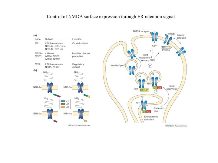 Control of NMDA surface expression through ER retention signal
