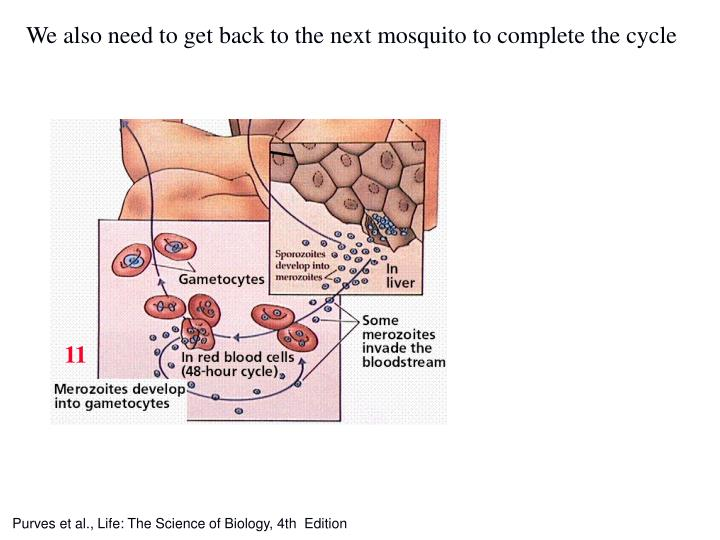 We also need to get back to the next mosquito to complete the cycle
