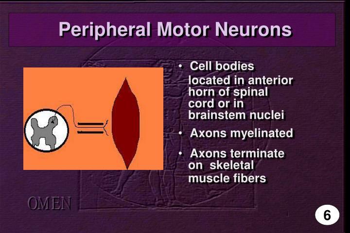 Peripheral Motor Neurons
