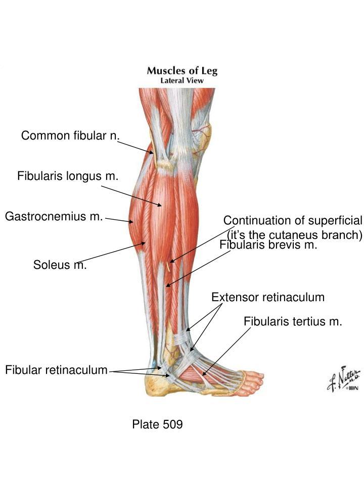 Common fibular n.