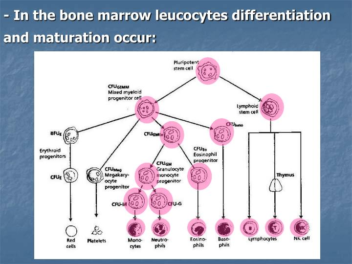 In the bone marrow leucocytes differentiation and maturation occur