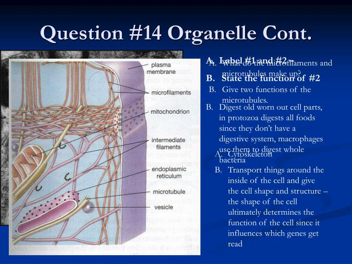 Question #14 Organelle Cont.