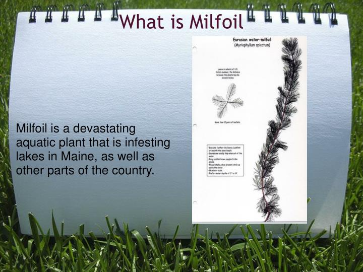 What is Milfoil