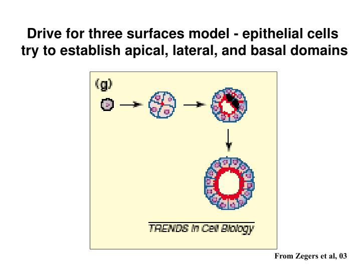 Drive for three surfaces model - epithelial cells