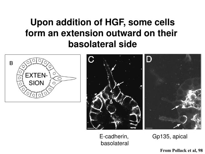 Upon addition of HGF, some cells