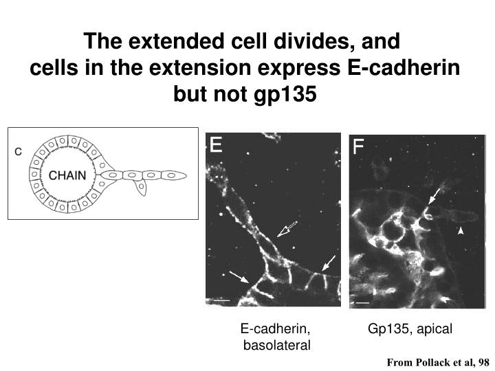 The extended cell divides, and