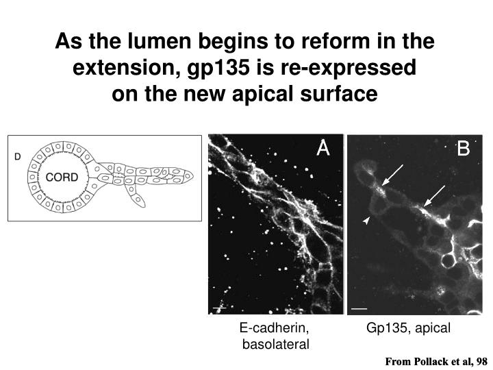 As the lumen begins to reform in the