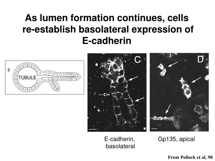As lumen formation continues, cells