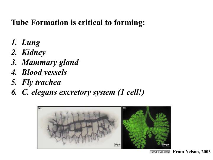 Tube Formation is critical to forming: