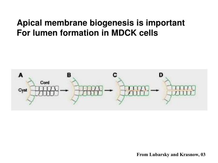 Apical membrane biogenesis is important