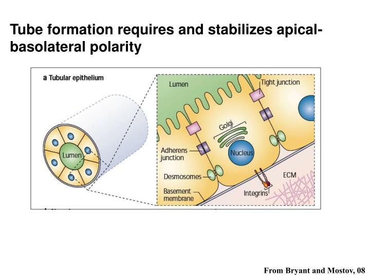 Tube formation requires and stabilizes apical-basolateral polarity