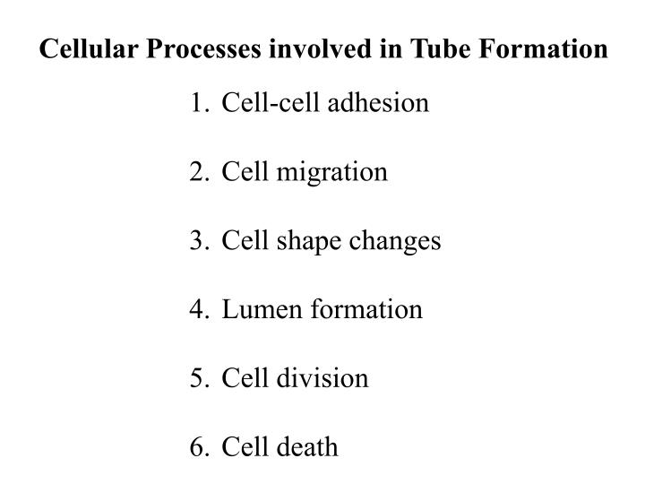 Cellular Processes involved in Tube Formation