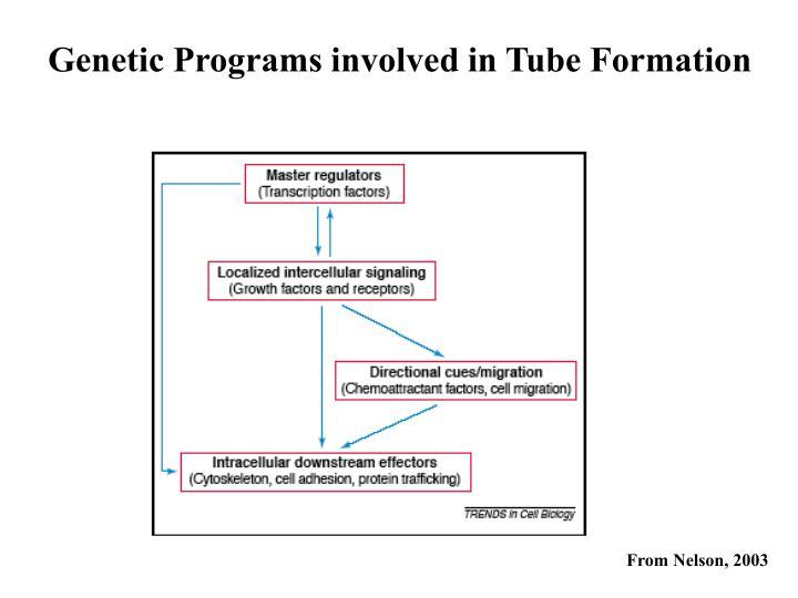 Genetic Programs involved in Tube Formation